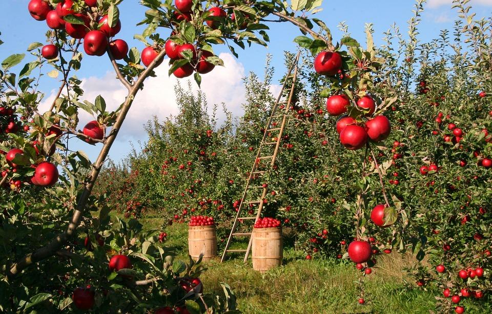 sad z jabłkami